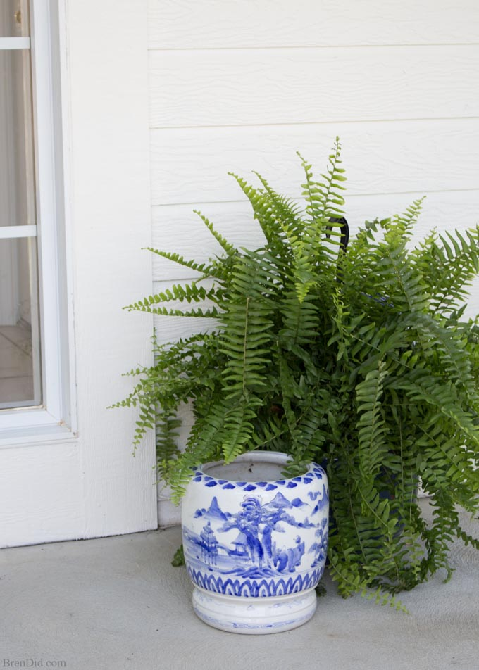 Boston ferns with pot